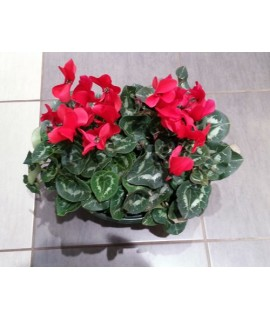 CYCLAMEN GROS POT