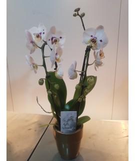 Composition d'Orchidées Oncidium