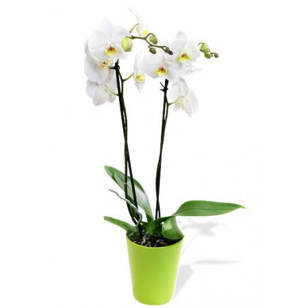 Orchidées Phalaenopsis 2 Branches Blanche avec Cache pot