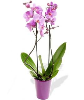 Orchidées Phalaenopsis 2 Branches Rose avec Cache pot