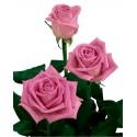 Grande Rose Rose Gros Bouton