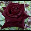 Grande Rose Noire Gros Bouton